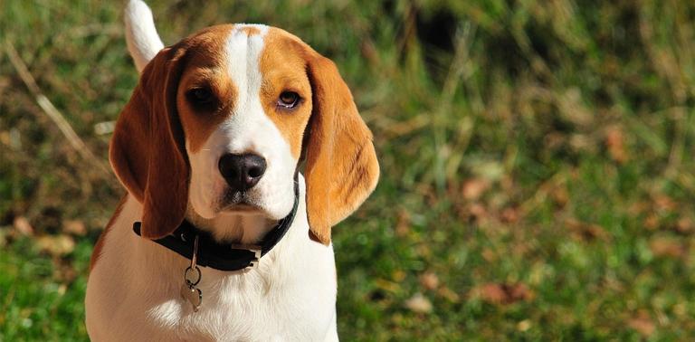 raza de perro beagle